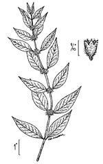picture of Mentha canadensis, image of Mentha arvensis, photograph of Mentha arvensis