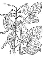 picture of Desmodium canescens, image of Desmodium canescens, photograph of Desmodium canescens