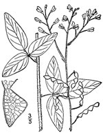 picture of Desmodium perplexum, image of Desmodium perplexum, photograph of Desmodium perplexum