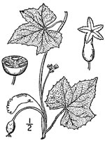 picture of Melothria pendula, image of Melothria pendula var. pendula, photograph of Melothria pendula