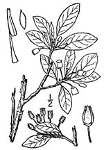 picture of Rhododendron pilosum, image of Menziesia pilosa, photograph of Menziesia pilosa
