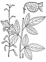 picture of Desmodium obtusum, image of Desmodium obtusum, photograph of Desmodium obtusum