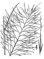 picture of Muhlenbergia capillaris, image of Muhlenbergia capillaris, photograph of Muhlenbergia capillaris