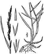 picture of Muhlenbergia mexicana, image of Muhlenbergia mexicana, photograph of Muhlenbergia mexicana