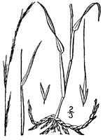 picture of Muhlenbergia tenuiflora, image of Muhlenbergia tenuiflora, photograph of Muhlenbergia tenuiflora
