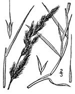 picture of Muhlenbergia sylvatica, image of Muhlenbergia sylvatica, photograph of Muhlenbergia sylvatica