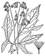 picture of Nabalus trifoliolatus, image of Prenanthes trifoliolata, photograph of Prenanthes trifoliolata
