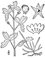picture of Nemophila aphylla, image of Nemophila aphylla, photograph of Nemophila microcalyx