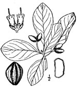 picture of Nyssa biflora, image of Nyssa biflora, photograph of Nyssa sylvatica var. biflora