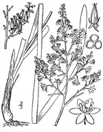 picture of Stenanthium leimanthoides, image of Zigadenus leimanthoides, photograph of Zigadenus leimanthoides
