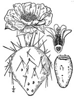 picture of Opuntia humifusa var. humifusa, image of Opuntia humifusa, photograph of Opuntia compressa