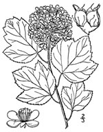 picture of Physocarpus opulifolius var. opulifolius, image of Physocarpus opulifolius var. opulifolius, photograph of Physocarpus opulifolius