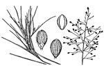 picture of Dichanthelium aciculare, image of Dichanthelium aciculare, photograph of Panicum aciculare