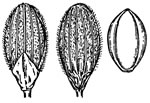 picture of Dichanthelium angustifolium, image of Dichanthelium aciculare, photograph of Panicum angustifolium