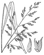 picture of Coleataenia anceps ssp. anceps, image of Panicum anceps, photograph of Panicum anceps var. anceps