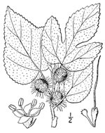picture of Broussonetia papyrifera, image of Broussonetia papyrifera, photograph of Broussonetia papyrifera