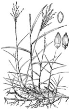 picture of Panicum repens, image of Panicum repens, photograph of -