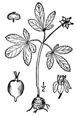 picture of Panax trifolius, image of Panax trifolius, photograph of Panax trifolium