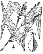 picture of Persicaria setacea, image of Polygonum setaceum, photograph of Polygonum setaceum