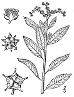 picture of Penthorum sedoides, image of Penthorum sedoides, photograph of Penthorum sedoides