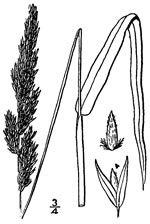 picture of Phalaris arundinacea, image of Phalaris arundinacea, photograph of Phalaris arundinacea
