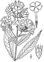 picture of Phlox paniculata, image of Phlox paniculata, photograph of Phlox paniculata
