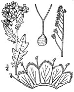 picture of Phacelia purshii, image of Phacelia purshii, photograph of Phacelia purshii