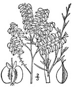 picture of Polygonum americanum, image of Polygonella americana, photograph of Polygonella americana