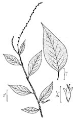 picture of Persicaria virginiana, image of Polygonum virginianum, photograph of Tovara virginiana