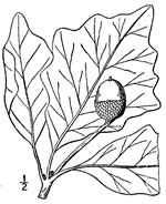 picture of Quercus bicolor, image of Quercus bicolor, photograph of Quercus bicolor