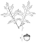 picture of Quercus palustris, image of Quercus palustris, photograph of Quercus palustris