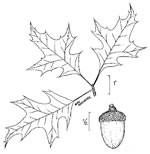 picture of Quercus texana, image of Quercus texana, photograph of -