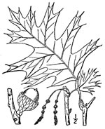 picture of Quercus velutina, image of Quercus velutina, photograph of Quercus velutina