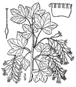 picture of Ribes americanum, image of Ribes americanum, photograph of -