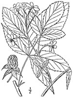 picture of Rubus canadensis, image of Rubus canadensis, photograph of Rubus canadensis
