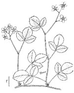 picture of Rubus hispidus, image of Rubus hispidus, photograph of Rubus hispidus
