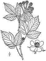 picture of Rubus occidentalis, image of Rubus occidentalis, photograph of Rubus occidentalis