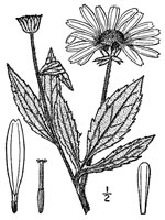 picture of Rudbeckia subtomentosa, image of Rudbeckia subtomentosa, photograph of -