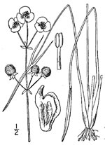 picture of Sagittaria engelmanniana, image of Sagittaria engelmanniana, photograph of Sagittaria engelmanniana