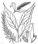 picture of Salix fragilis, image of Salix fragilis, photograph of -