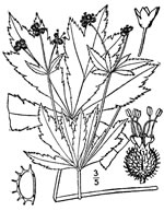 picture of Sanicula odorata, image of Sanicula odorata, photograph of Sanicula gregaria