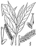 picture of Salix sericea, image of Salix sericea, photograph of Salix sericea