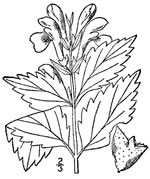 picture of Scutellaria serrata, image of Scutellaria serrata, photograph of Scutellaria serrata