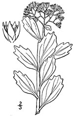 picture of Hylotelephium telephioides, image of Hylotelephium telephioides, photograph of Sedum telephioides