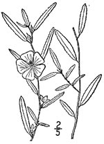 picture of Sida elliottii var. elliottii, image of Sida elliottii, photograph of Sida elliottii