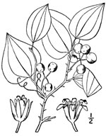 picture of Smilax rotundifolia, image of Smilax rotundifolia, photograph of Smilax rotundifolia