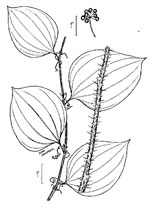 picture of Smilax hispida, image of Smilax tamnoides, photograph of Smilax hispida