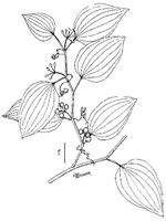 picture of Smilax walteri, image of Smilax walteri, photograph of Smilax walteri