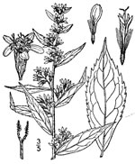 picture of Solidago caesia var. caesia, image of Solidago caesia, photograph of Solidago caesia