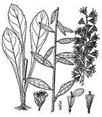 picture of Solidago erecta, image of Solidago erecta, photograph of Solidago erecta